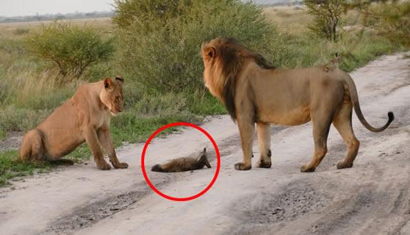 Un grupo de leones se encontró con un pequeño zorro ¡Lo que pasó es increíble!